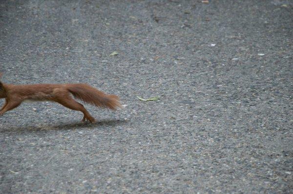 fast vollständiges Eichhörnchen